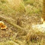 Drzewa podgryzione przez bobry nad rz. Stradomka