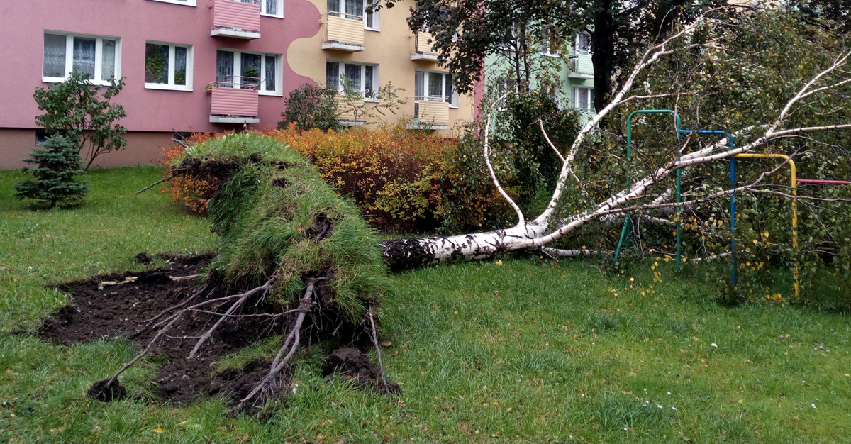Powalone drzewo