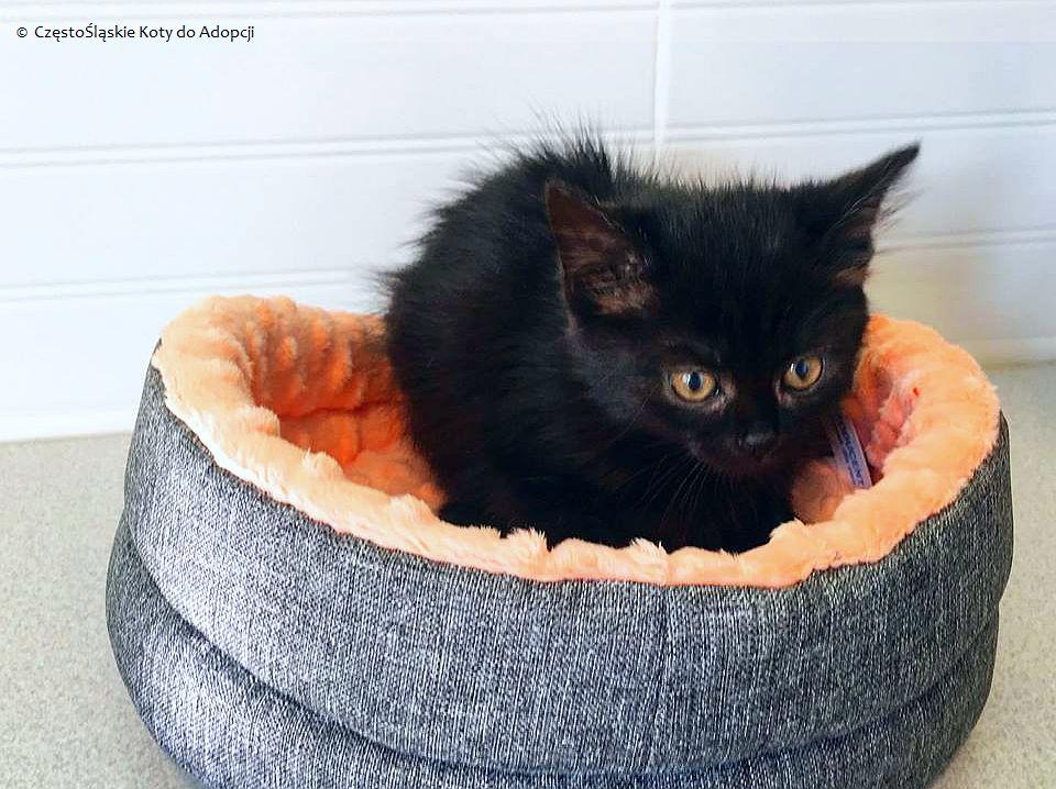 kot | fot.: CzęstoŚląskie Koty do Adopcji