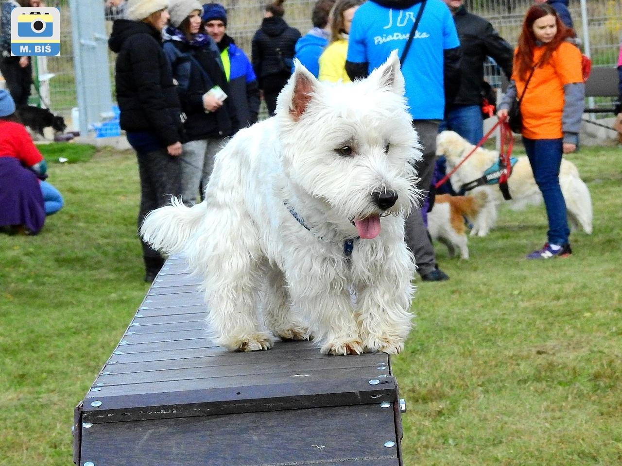 Pies na wybiegu